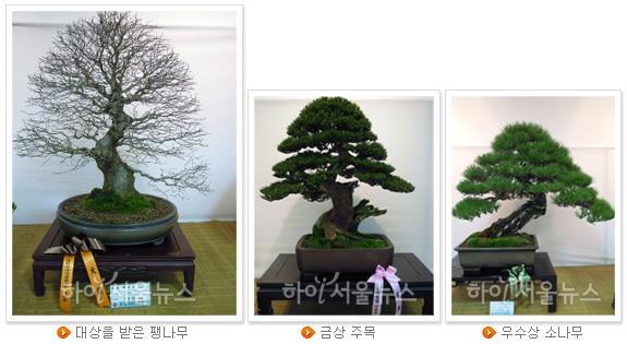 대상을 받은 팽나무, 금상 주목, 우수상 소나무(왼쪽부터)