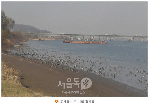 강가를 가득 메운 철새들