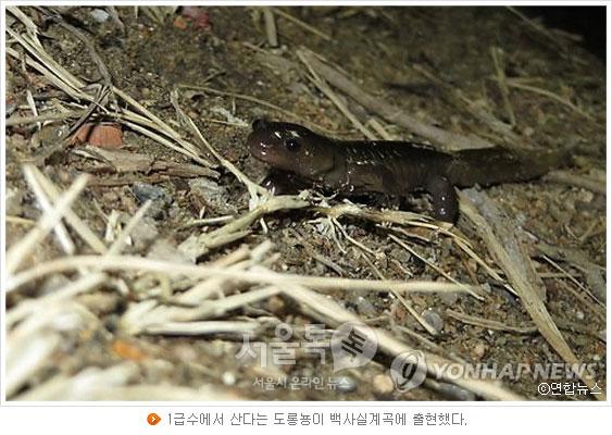 1급수에서 산다는 도롱뇽이 백사실계곡에 출현했다.(사진 연합뉴스)