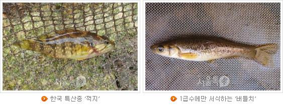 한국 특산종 `꺽지`, 1급수에만 서식하는 `버들치`