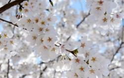 윤중로에 벚꽃이 피는 시기는 어떻게 알 수 있을까? ⓒ뉴시스