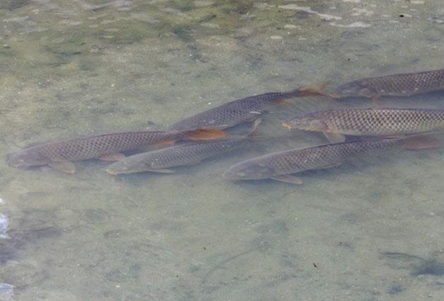 불광천을 산책하는 팔뚝만한 물고기들