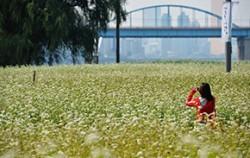 `한강 서래섬 메밀꽃 축제`가 열리는 반포한강공원 서래섬 일대ⓒ뉴시스