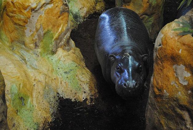 `피그미하마`는 현재 멸종위기로 분류돼있으며 약 3,000마리 이하만 남은 희귀동물이다
