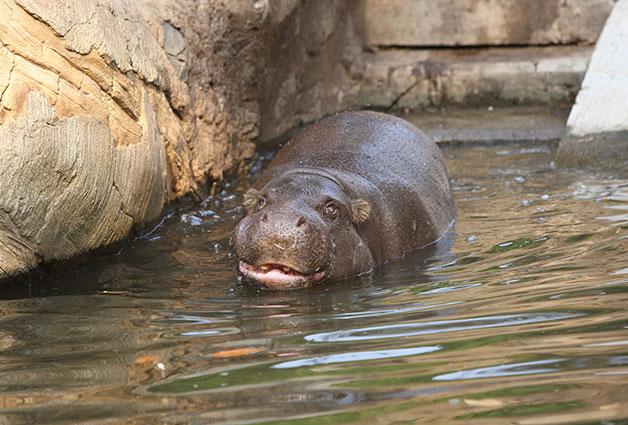 영국에서 갓 시집온 `나몽`이 서울대공원에서 유유히 헤엄치고 있다