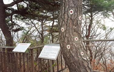 일명 김신조 소나무로 불리고 있는 `1.21사태 소나무`