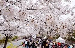여의도 봄꽃축제 ⓒ뉴시스