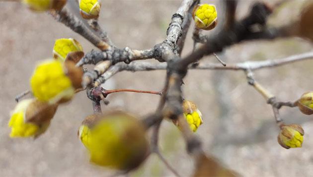 금방 피어날 듯한 산수유꽃망울이 봄을 알린다