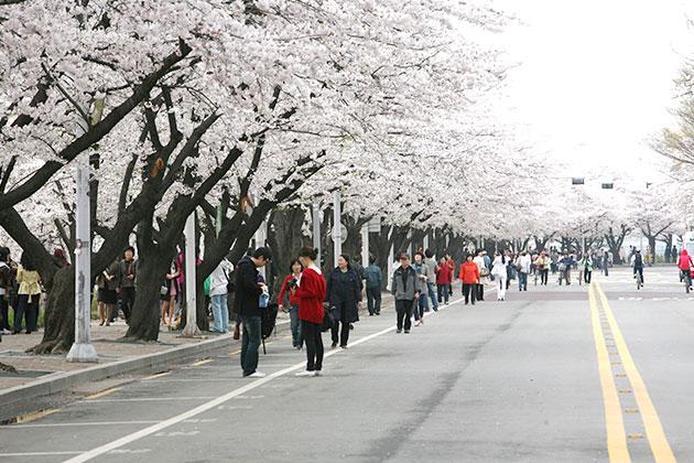 한강 여의도 봄꽃축제