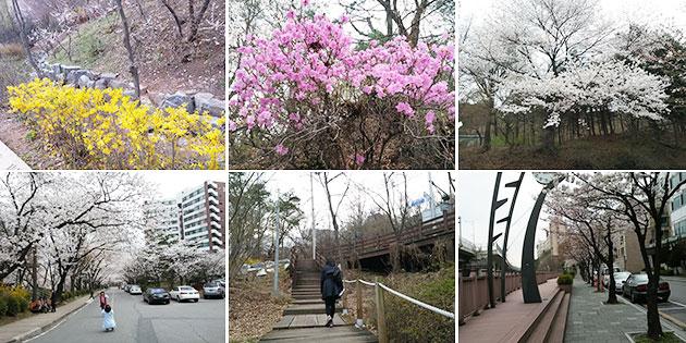 워커힐 벚꽃길