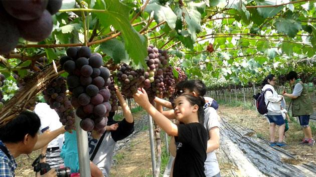 포도수확체험에 참여하고 있는 어린이
