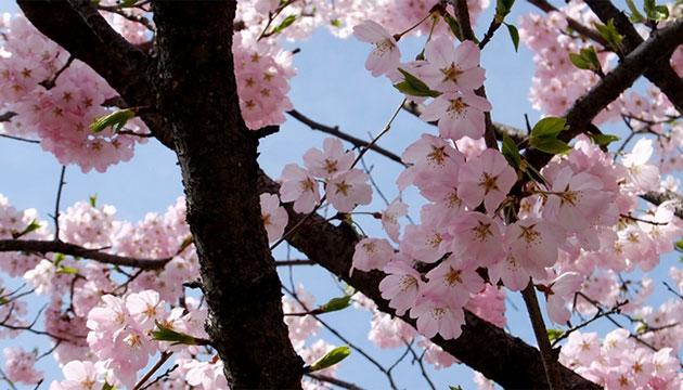 올 봄엔 일찍 찾아온 벚꽃