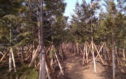 뚝섬에 조성된 편백나무 숲