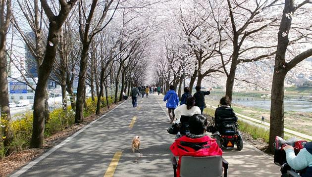 휠체어 탄 시민들도 함께 즐기는 벚꽃길