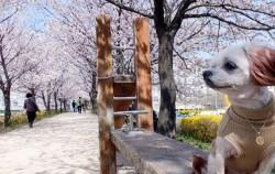 여유롭게 꽃 잔치를 만끽할 수 있는 안양천 뚝방 벚꽃길
