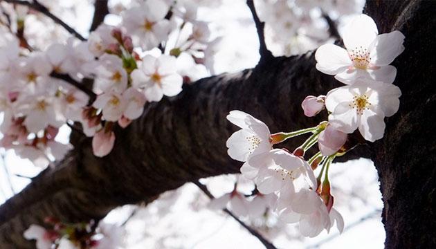 화창한 봄 햇살과 잘 어울리는 화사한 벚꽃