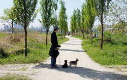 미루나무 가로수길 산책 중인 시민과 애완견 모습