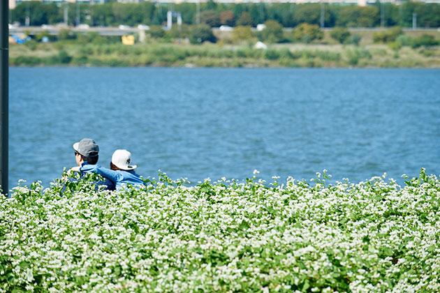 한강 서래섬 메밀꽃축제