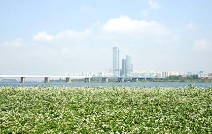 한강 서래섬 메밀꽃 축제