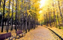 노란 낙엽이 융단처럼 깔린 서울숲 길 풍경 ⓒ김종성