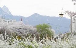 벚꽃축제가 한창인 우이천 뚝방길 ⓒ김영옥