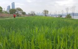 이촌한강공원의 청보리밭 모습 ⓒ최용수