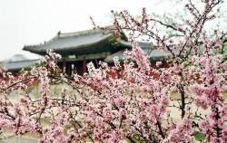 분홍빛 매화가 만개한 창경궁의 봄풍경