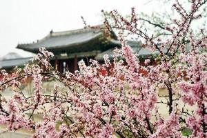 [여행스토리 호호] 봄날 궁궐산책은 언제나 옳다…창경궁 야간관람
