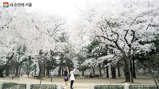 만개한 벚꽃이 장관을 이루는 낙성대공원 ⓒ최은주