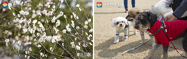만개한 벚꽃 풍경(좌), 반려견과 산책하기 좋은 응봉공원(우) ⓒ문청야