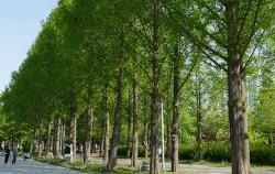 연초록으로 물든 서울숲의 메타세콰이어길 ⓒ김영옥