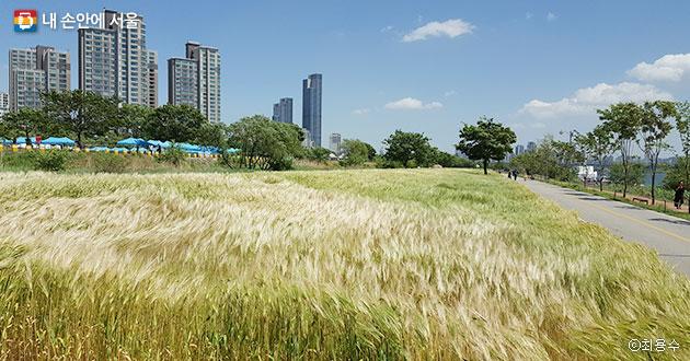 드넓게 펼쳐진 이촌한강공원의 오색보리밭 전경 ⓒ최용수