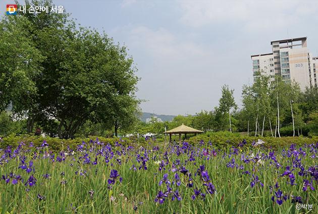 서울 창포원의 붓꽃원 ⓒ박분