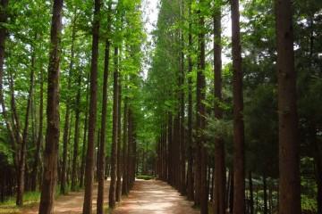 강서둘레길 메타세콰이어 숲
