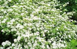 5월이면 하냔 배 꽃잎처럼 피어나는 팥배나무 꽃잎 ⓒ김종성