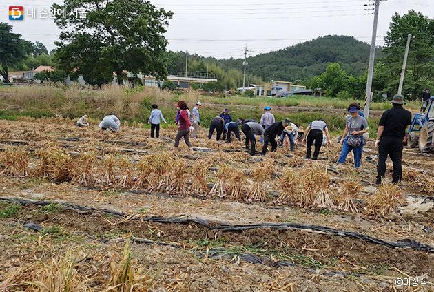 서울에서 온 참가자들이 부족한 일손을 도와 창녕군 마늘 수확을 거들었다. ⓒ이성식