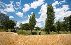 드넓게 펼쳐진 황금보리밭이 미루나무 가로수와 어우러져 멋진 풍광을 선사한다. ⓒ문청야