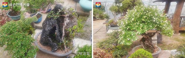 운치 있는 만년송의 모습(좌), 예쁘게 꽃이 핀 쥐똥나무(우) ⓒ방윤희