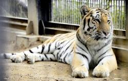 서울동물원 시베리아호랑이 ⓒnews1