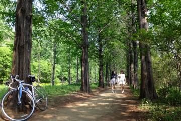 하늘공원 메타세콰이어 나무