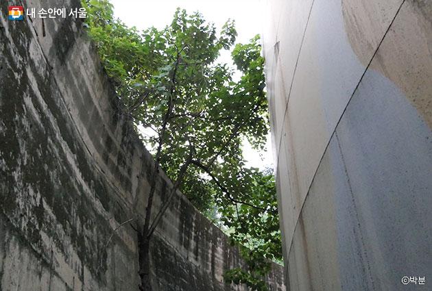 거대한 문화비축기지 탱크와 옹벽 사이 비좁은 길을 걷다 보면 단단한 옹벽에 뿌리를 내린 오동나무를 만나게 된다. ⓒ박분