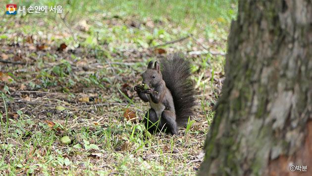 열매를 먹고 있는 홍릉수목원의 청설모 ⓒ박분