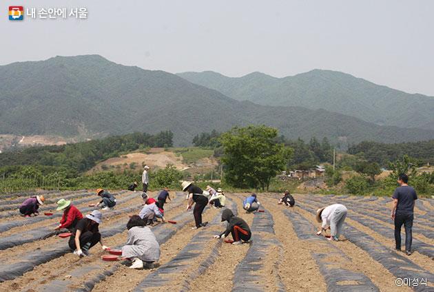 참가자들이 콩밭에서 우리 콩을 심는 모습. 뒤로 지리산이 보인다 ⓒ이성식