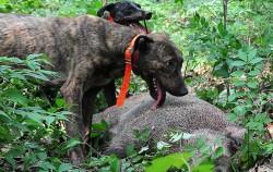 가을, 겨울철 멧돼지 출몰 빈도가 높은 만큼, 미리 행동요령을 숙지하는 것이 중요하다 사진은 사냥개에게 포획된 멧돼지ⓒnews1