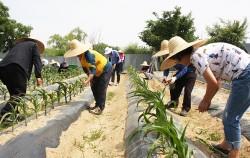 옥수수 재배 실습