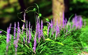 아파트 화단 등 일상 가까이에 있는 백합과 식물 `맥문동`. 맥문동 뿌리는 진해거담에 효과가 있는 한약재다