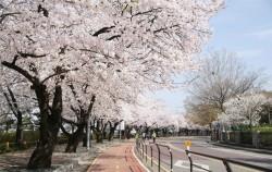 여의도 윤중로에선 7일부터 12일까지 봄꽃 축제가 열린다.