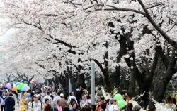 여의도 벚꽃축제 기간 동안 주말 버스 막차가 연장 운행된다.