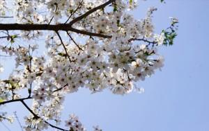 벚꽃으로 가득한 봄! 봄! 봄!