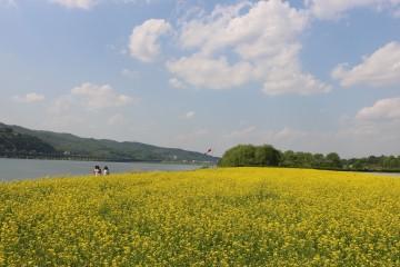 광나루한강공원의 유채꽃밭